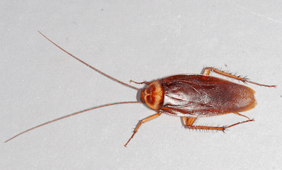 American-cockroach Roach Types