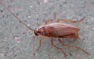 Water Cockroach
