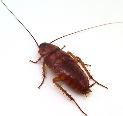 Picture of asian roaches